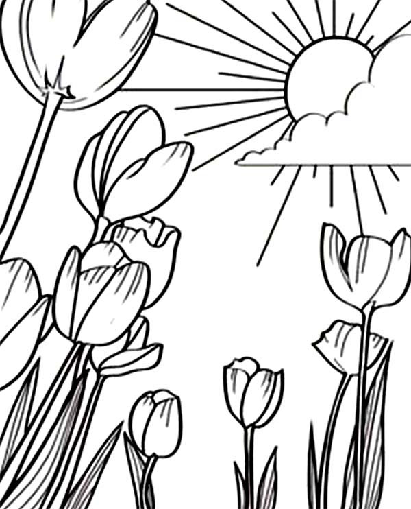 Tulips, : A Beautiful Sunshine in Tulips Field Coloring Page