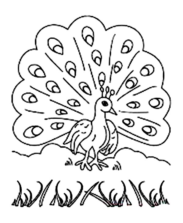 Peacock, : A Colourful Male Peacock Plumage in Display Coloring Page