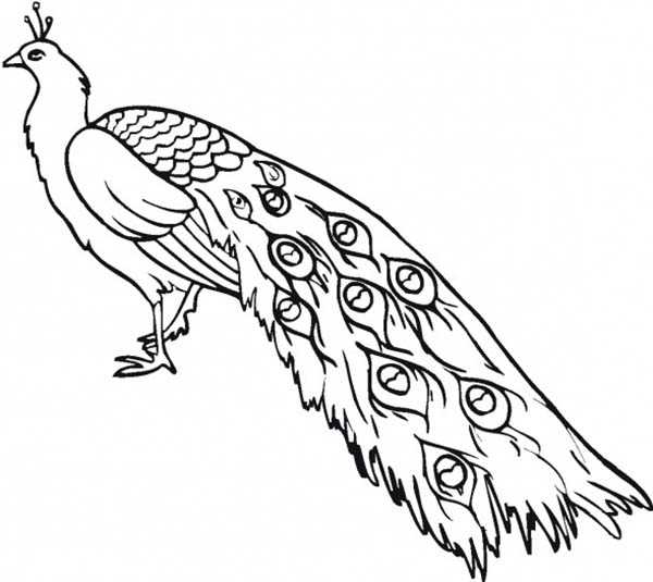 Peacock, : A Gorgeous Indian Peacock Coloring Page