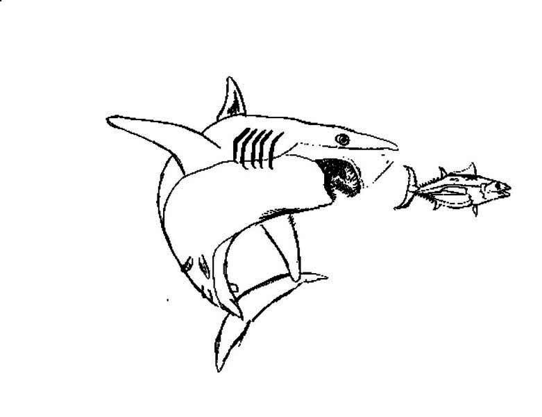 Sharks, : A Great White Shark Chasing a Tuna Coloring Page