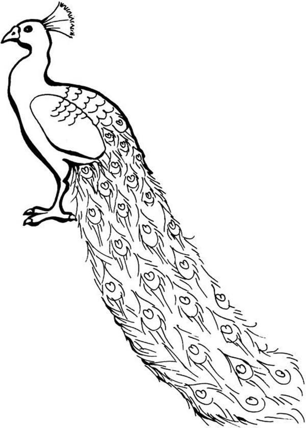 A Lovely African Congo Peacock Coloring Page Kids Play Color