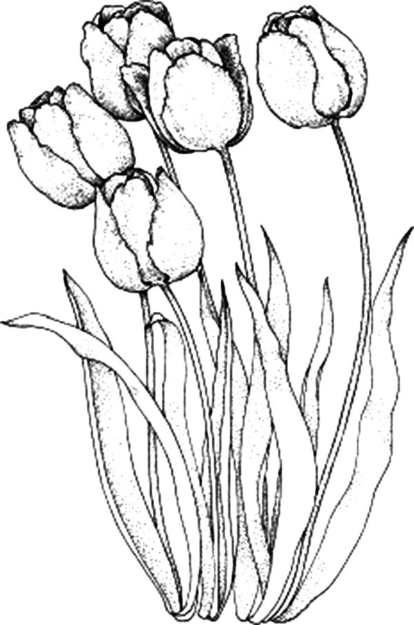 Tulips, : A Lovely Parrot Tulips from Holland Coloring Page