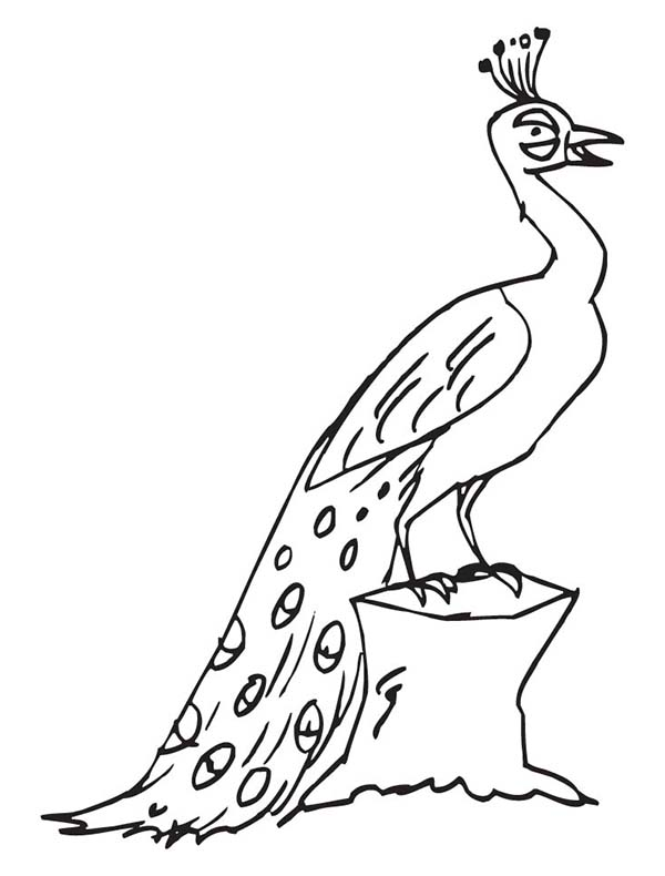 Peacock, : A Male Peacock with His Enormous Tail Feathers Coloring Page
