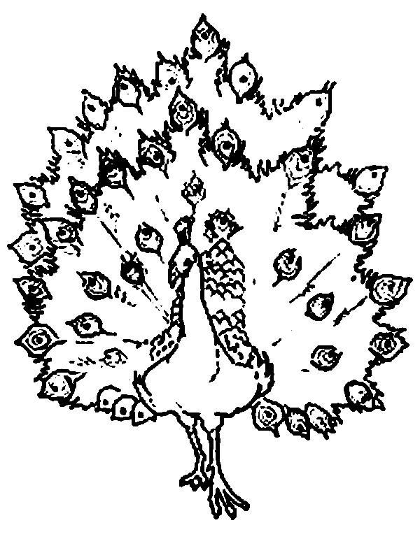 Peacock, : A Rough Sketch of African Congo Peacock Coloring Page