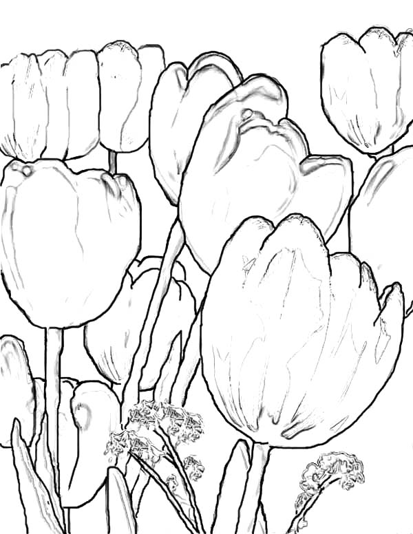 Tulips, : A Scenic Fringed Tulips Farm in Holland Coloring Page