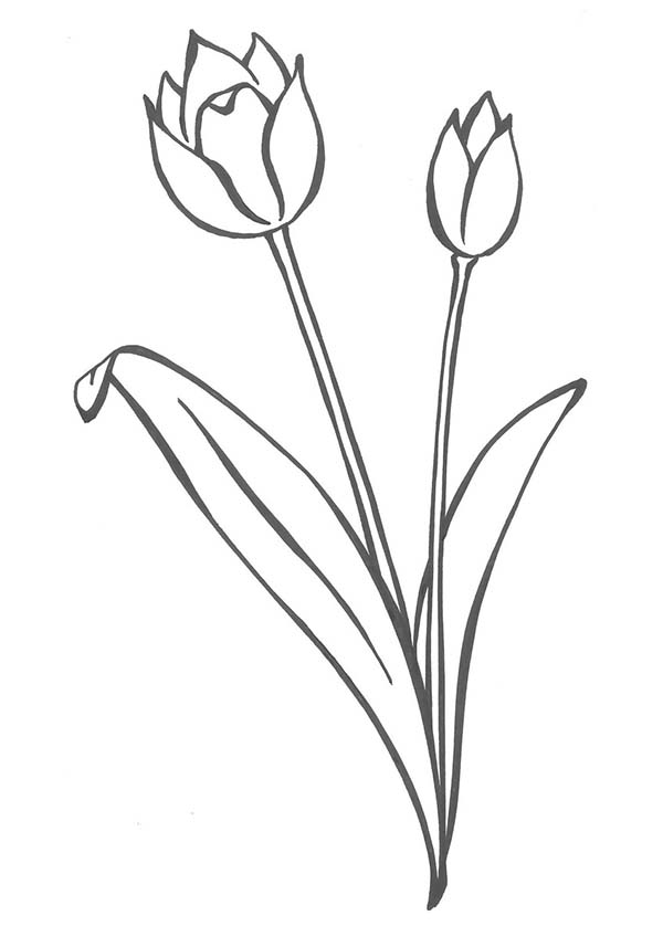 Tulips, : A pair of Secret Parrot Tulips Coloring Page