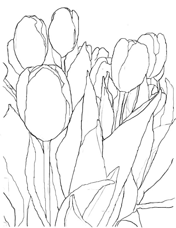 Tulips, : An Artistic Pencil Sketch of Tulips Coloring Page