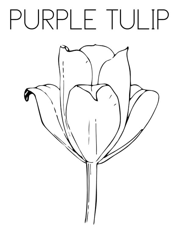 Tulips, : An Exotic Double Bloom Purple Tulip Coloring Page