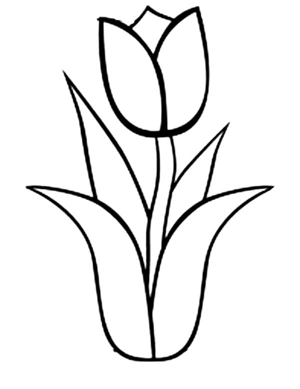 Tulips, : An Illustration of Single Double Bloom Tulip Coloring Page