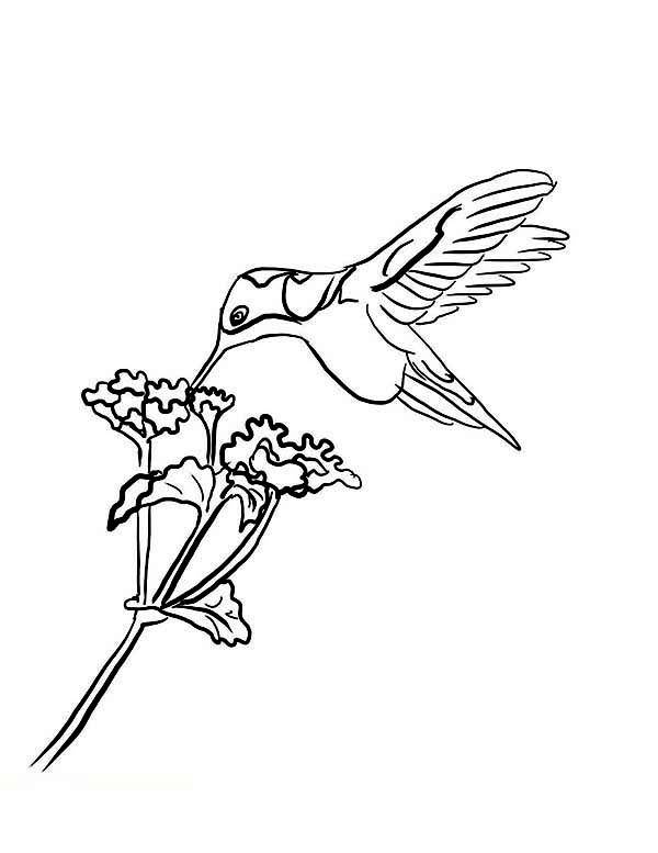 Hummingbirds, : Black-chinned-Hummingbird-eat-nectar-on-hummingbird-coloring-page.jpg