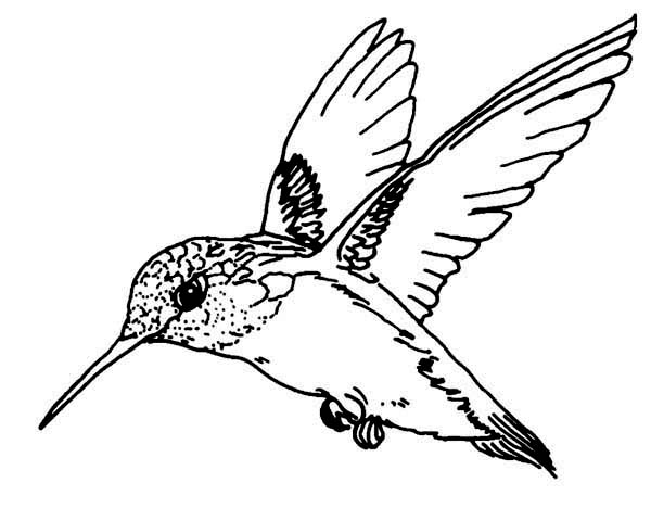 Hummingbirds, : Flying-Magnificent-Hummingbird-Coloring-Page.jpg