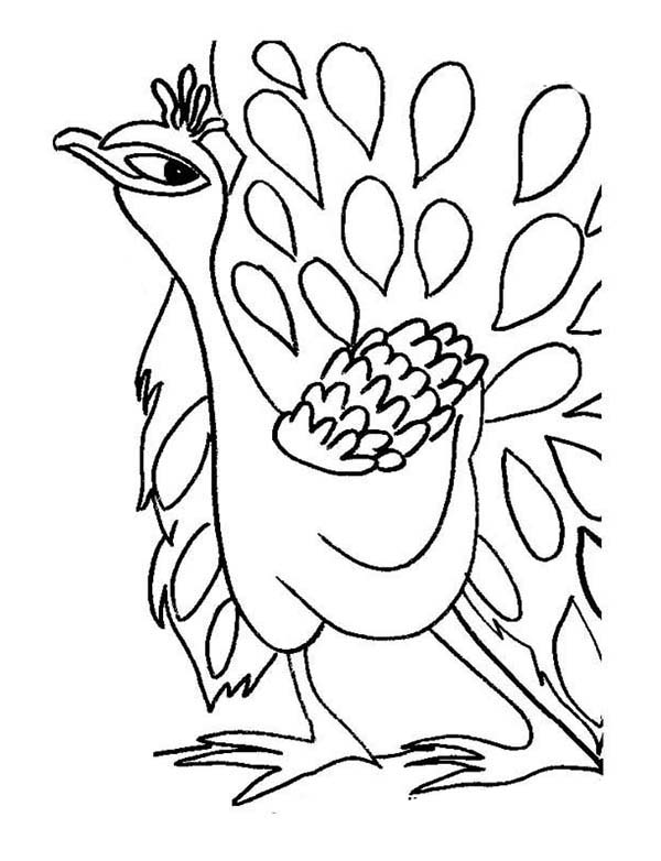 Peacock, : Funny Peacock Showing His Tail Feather Coloring Page