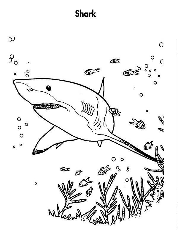 Sharks, : Great White Shark is Hunting for the Prey Coloring Page