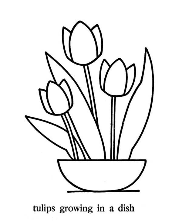 Tulips, : Growing Tulips in the Dish Coloring Page