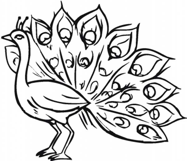 Peacock, : Pavo Cristatus the Latin Name of Peacock Coloring Page