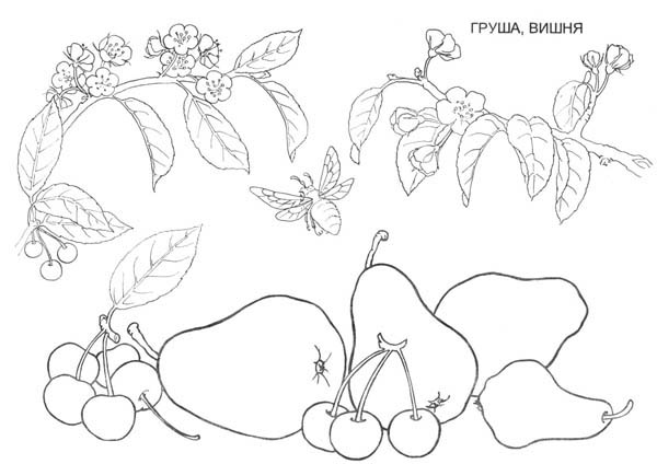 Fruits and Vegetables, : Pear Fruits and Cherries Coloring Page