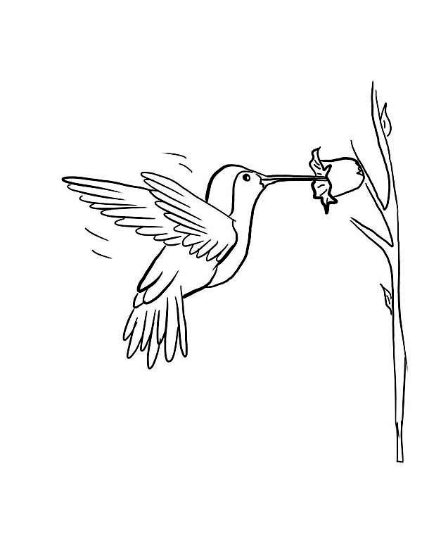 Hummingbirds, : Purple-throated-Mountain-gem-Humming-Bird-Coloring-page.jpg