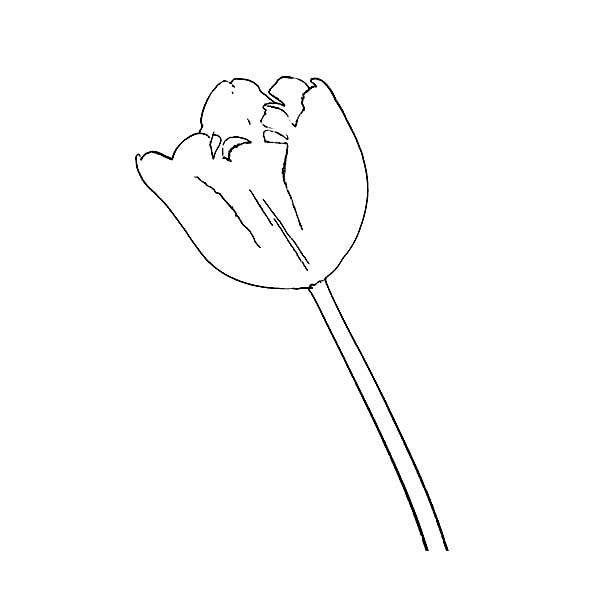 Tulips, : Single Fringed Tulips Drawing Coloring Page