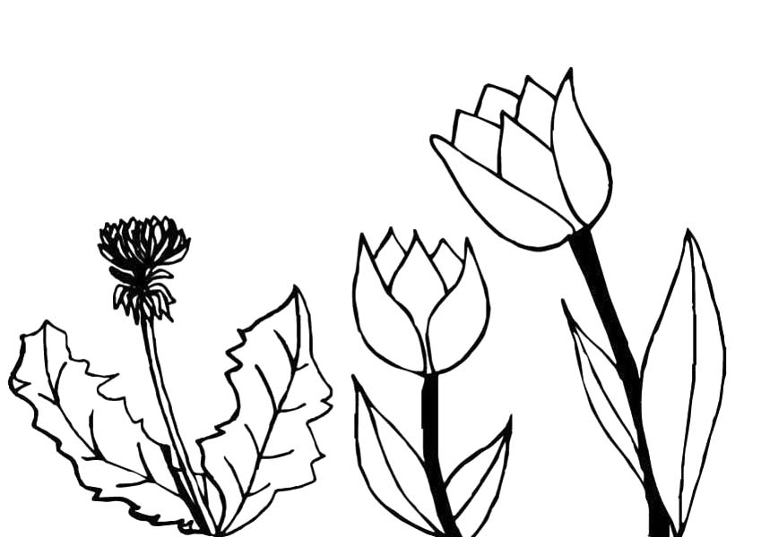 Tulips, : The Growing Phase of Tulips Coloring Page