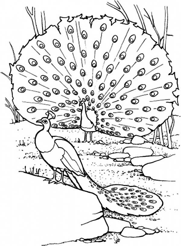 Peacock, : Two Peacocks on Their Habitat Coloring Page