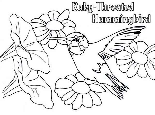 Hummingbirds, : beauty-ruby-throated-humming-bird-eat-nectar-coloring-page.jpg
