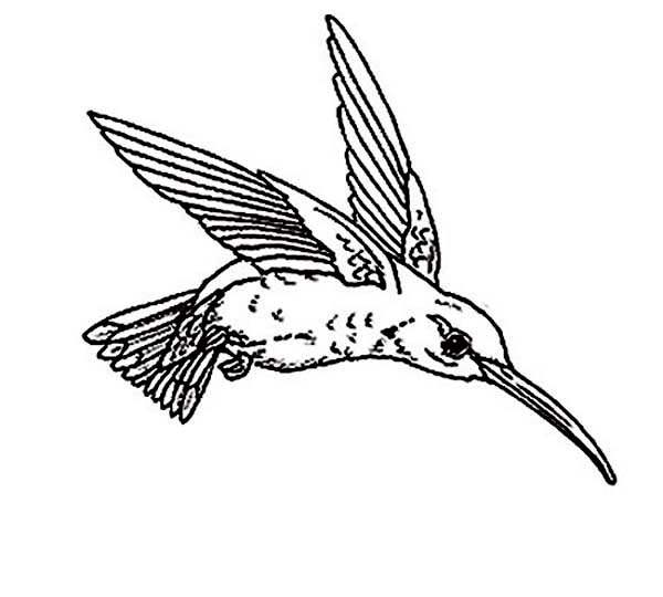 Hummingbirds, : hummingbird-targeting-a-flower-coloring-page.jpg