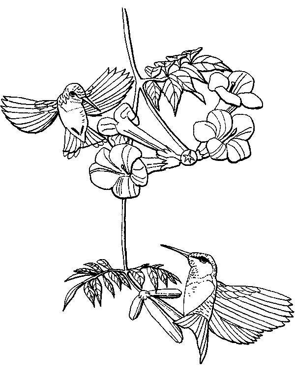 Hummingbirds, : hummingbirds-searching-for-nectar-coloring-page.jpg