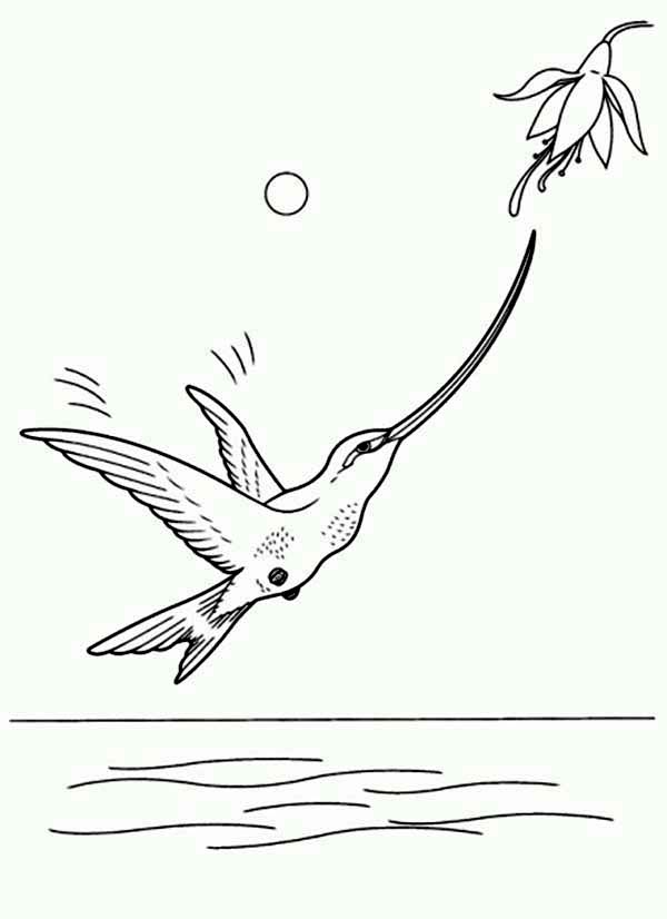 Hummingbirds, : long-beak-hummingbird-coloring-page.jpg