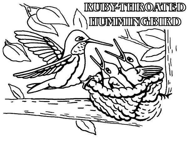 Hummingbirds, : ruby-throated-humming-bird-feed-their-baby-coloring-page.jpg