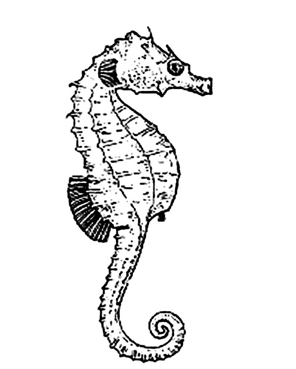 Seahorse, : Seahorse Moves Forward Using Its Dorsal Fin Coloring Page