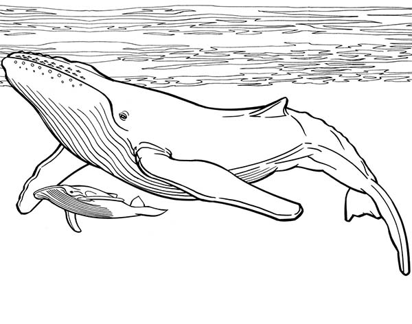 Whale, : Blue Whale and Her Baby Coloring Page