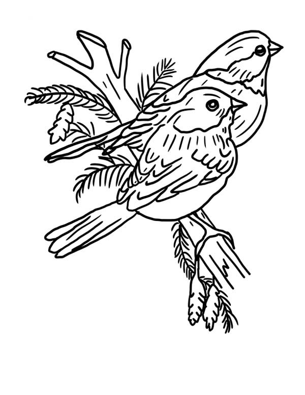 Robin, : Couples of Robin Bird Coloring Page