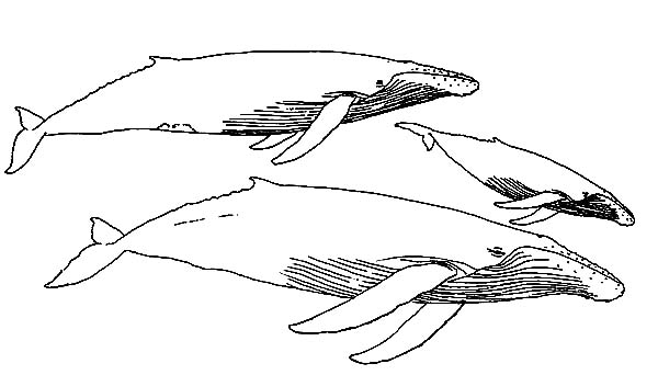 Whale, : Group of Blue Whale Coloring Page