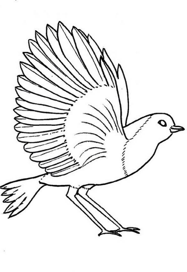 Robin, : Robin Bird Spreading Wing Coloring Page
