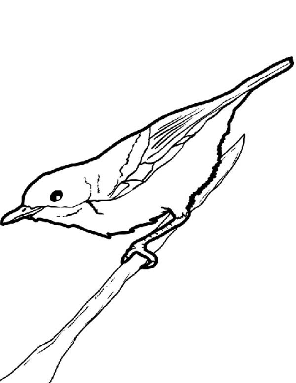 Robin, : Robin Bird on Tree Branch Coloring Page