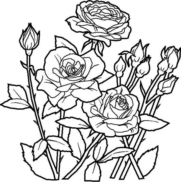 Rose Flower In The Garden Coloring Page : Kids Play Color