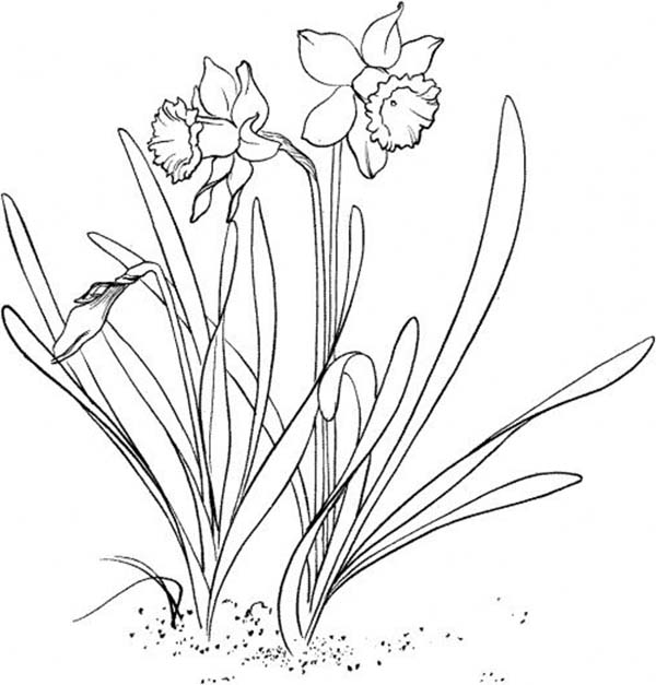 Daffodil, : A Daffodil Flower Coloring Page