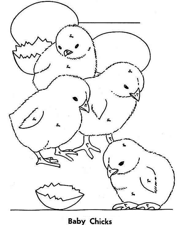 Baby Chick, : A Group of Baby Chick Coloring Page