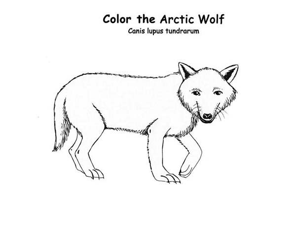 Arctic Animals, : Arctic Wolf is Arctic Animals Coloring Page