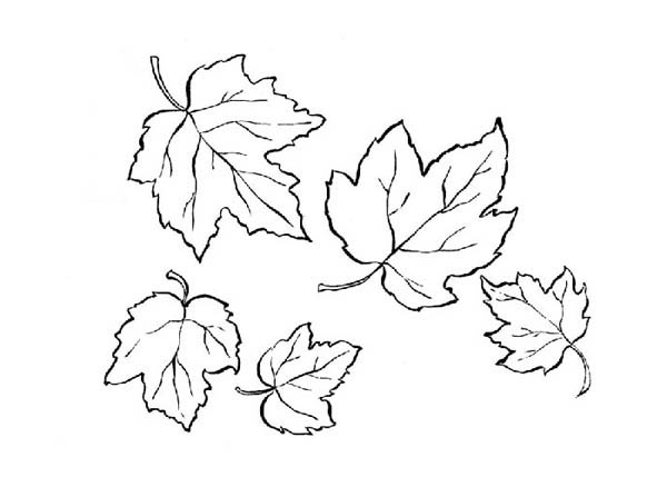 Maple Leaf, : Autumn Maple Leaf Coloring Page
