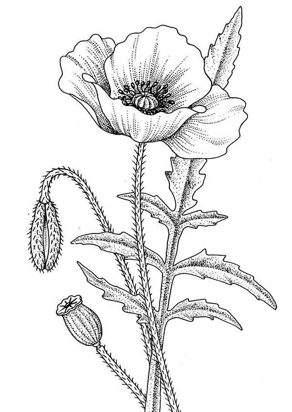 California Poppy, : Awesome Drawing of California Poppy Coloring Page