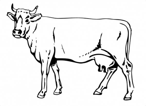 Cow, : Awesome Drawing of Cow Coloring Page