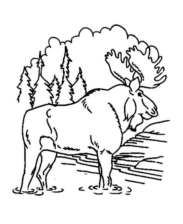 Moose, : Awesome Moose Coloring Page
