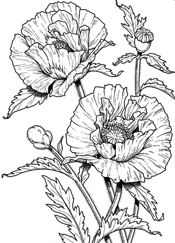 California Poppy, : Beautiful California Poppy Coloring Page