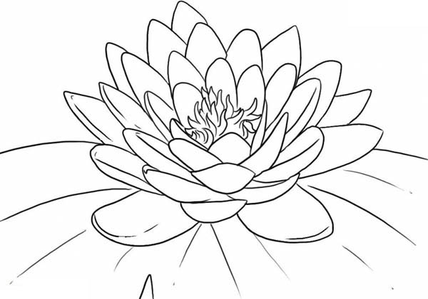 Lotus Flower, : Beautiful Lotus Flower Coloring Page