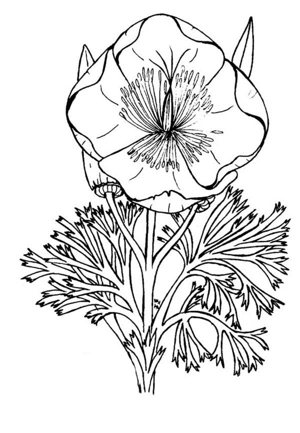 California Poppy, : Blooming California Poppy Coloring Page