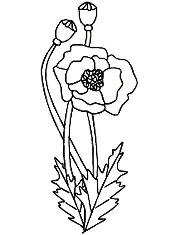 California Poppy, : California Poppy Coloring Page for Kids