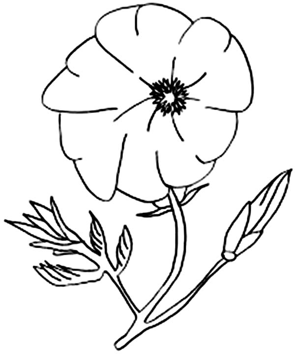 California Poppy, : California Poppy Image Coloring Page