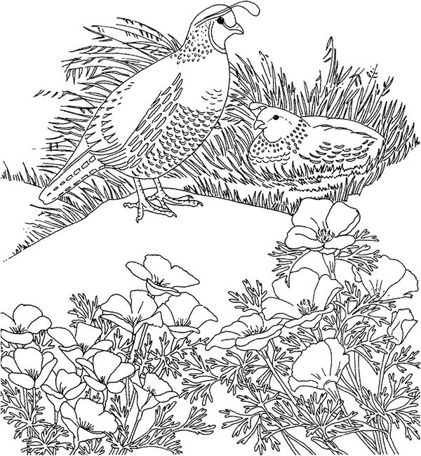 California Poppy, : California Poppy Near Quail Nest Coloring Page