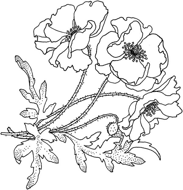California Poppy, : California Poppy for the Love One Coloring Page